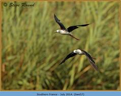 black-winged-stilt-57.jpg
