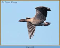 pink-footed-goose-92.jpg