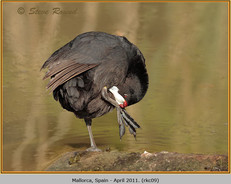 red-knobbed-coot-09.jpg
