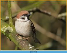tree-sparrow-53.jpg