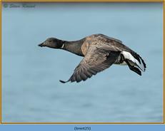 brent-goose-25.jpg