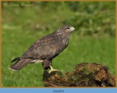 buzzard- 65.jpg