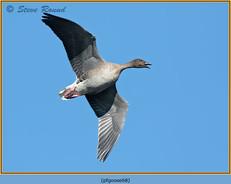 pink-footed-goose-68.jpg
