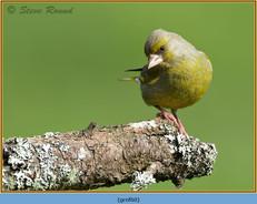 greenfinch-60.jpg