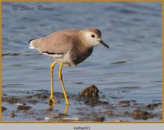 white-tailed-lapwing-02.jpg