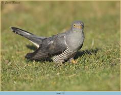 cuckoo-115.jpg