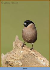 bullfinch-78.jpg