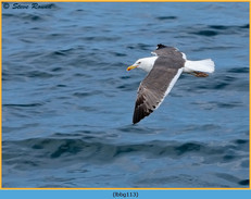 lesser-black-backed-gull-113.jpg