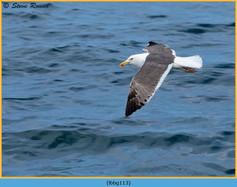 lesser-black-backed-gull-113.jpg