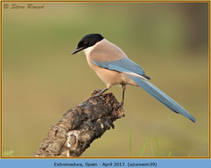 azure-winged-magpie-39.jpg