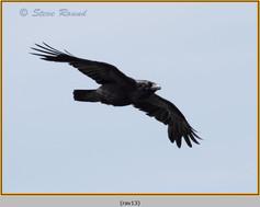 raven-13.jpg