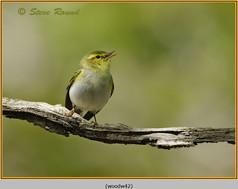 wood-warbler-42.jpg
