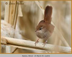 cettis-warbler-03.jpg