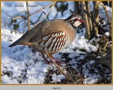 red-legged-partridge-23.jpg