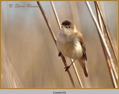reed-warbler-19.jpg