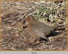 blackbird-56.jpg