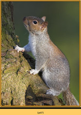 grey-squirrel-7.jpg
