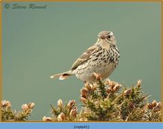 meadow-pipit-41.jpg