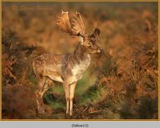 fallow-deer-13.jpg