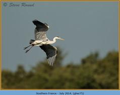 grey-heron-75.jpg