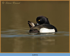tufted-duck-43.jpg