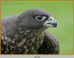 gyr-falcon-04c.jpg