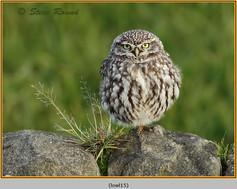 little-owl-15.jpg
