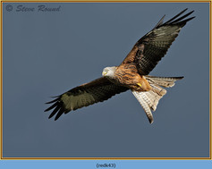 red-kite-43.jpg