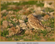 stone-curlew-13.jpg