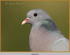 stock-dove-23.jpg