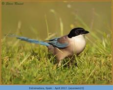 azure-winged-magpie-23.jpg