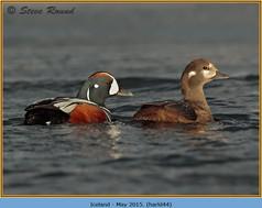 harlequin-duck-44.jpg