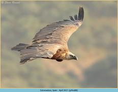 griffon-vulture-88.jpg
