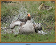greylag-goose-34.jpg