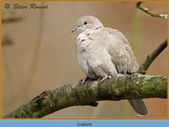 collared-dove-19.jpg