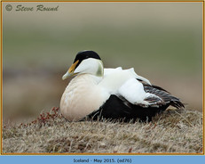 eider-duck- 76.jpg