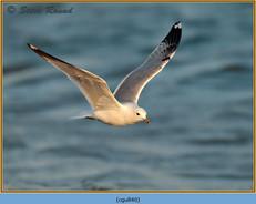 common-gull-40.jpg