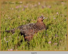 red-grouse-127.jpg