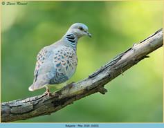 turtle-dove-20.jpg