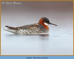 red-necked-phalarope-41.jpg