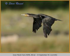 cormorant-06.jpg