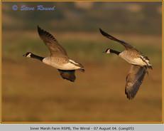 canada-goose-05.jpg