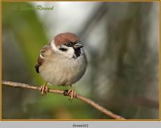 tree-sparrow-32.jpg