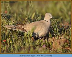 collared-dove-21.jpg