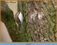 treecreeper-43.jpg
