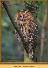tawny-owl-04.jpg