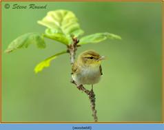 wood-warbler-68.jpg
