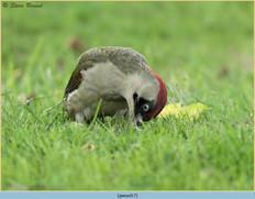 green-woodpecker-17.jpg