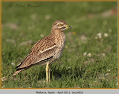 stone-curlew-02.jpg