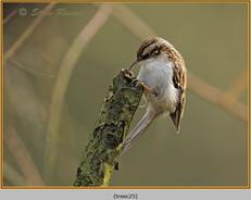 treecreeper-25.jpg